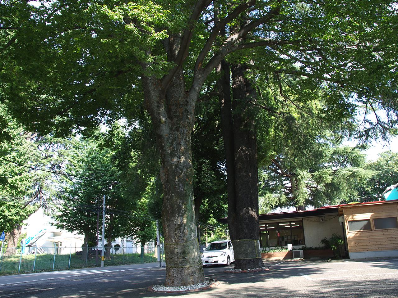 第2駐車場のニレとヒマラヤスギの巨木。クラブハウスもフェアウェイもこのような大きな木に囲まれています。