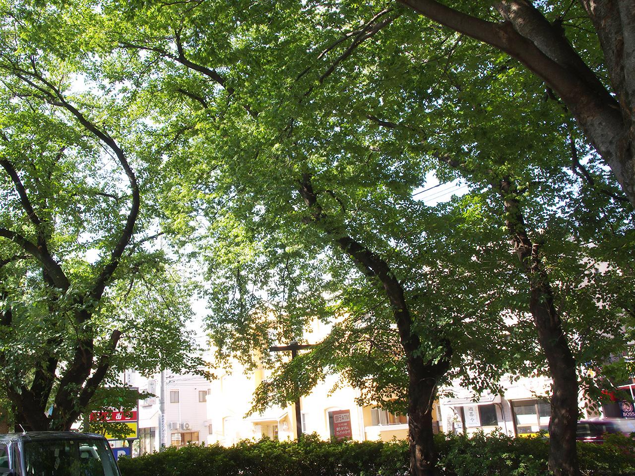 同じく第2駐車場の桜の巨木。春には満開の花を楽しませてくれます。